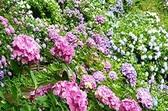 ☆お客様にご案内です☆<br /> ♪今年も下田公園のアジサイの花の時期になって来ました♪<br /> <br /> 下田公園で6月1日より6月30日までアジサイ祭りが開催となります<br /> 公園内に15万株300万輪の色とりどりのアジサイを見に来て下さい<br /> 公園内はアップダウンがかなりありますので、お越しの際は歩き安い<br /> スニーカーなど軽装で起こしになって下さい。<br /> <br /> お問い合わせは<br /> 下田海浜ホテル  TEL 0558-22-2065まで<br />