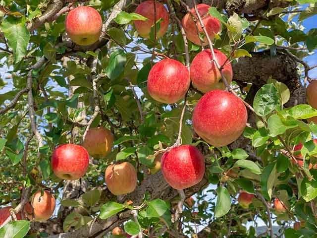 【実りの秋を満喫】≪りんご狩り体験≫もぎ取り食べ放題+持ち帰りのお土産付き♪
