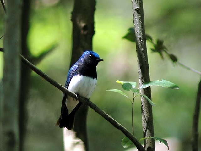 【軽井沢野鳥の森】濃いブルーの背中、白いおなかのオオルリをはじめ様々な野鳥が観察出来ます♪