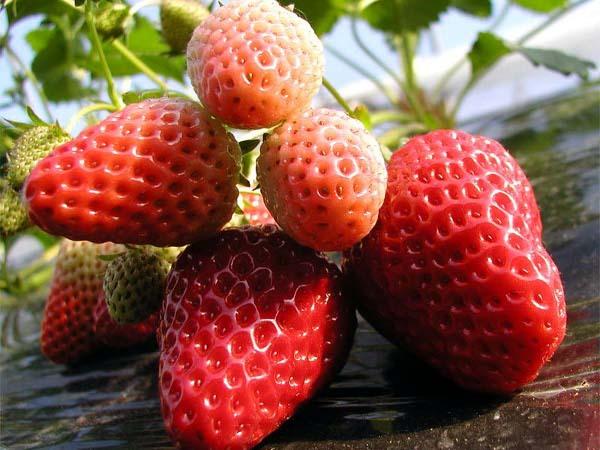 【季節のフルーツ★いちご狩りプラン】春の香り♪真っ赤なもぎたて苺食べ放題♪