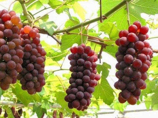 【季節のフルーツ★ぶどう狩り】時期によってちがう味♪もぎたてぶどうが食べ放題◆リキュール酒特典付
