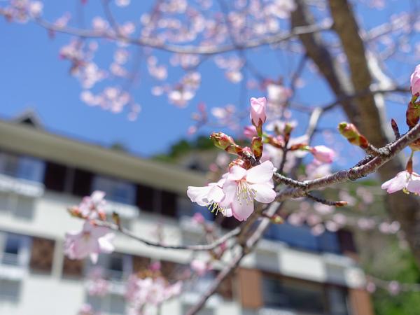 桜の咲くルミエスタホテル