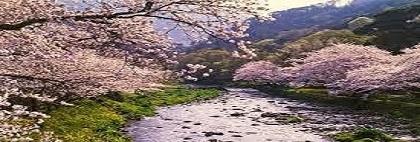 那賀川沿いの桜