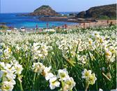 下田市のスイセン祭りが12月20日(火)より年明け2月10日(金)まで<br /> 開催となります、青く輝く海をバックに白く清楚に咲く花スイセンのコントラストを<br /> 是非この機会に見て下さい、又冷えた身体は温泉で温めて下さ 【開花状況】 1月4日現在7分咲きになっています。