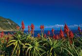 白浜にて冬のイベントとして、アロエ祭りが<br /> 開催されます日取りは12月1日(木)より年明け1月4日(水)まで<br /> 開催されますので南国伊豆下田の赤く咲き誇るアロエの花を皆様<br /> お誘い合わせでお出かけ下さいませ。  ♪只今見ごろ♪ 今年のアロエはすごいぞ、是非見て下さい。