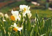 下田市のスイセン祭りが12月20日(火)より年明け2月10日(金)まで<br /> 開催となります、青く輝く海をバックに白く清楚に咲く花スイセンのコントラストを<br /> 是非この機会に見て下さい、又冷えた身体は温泉で温めて下さい。