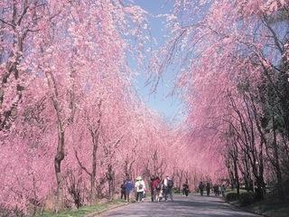 世羅甲山ふれあいの里/しだれ桜の並木道