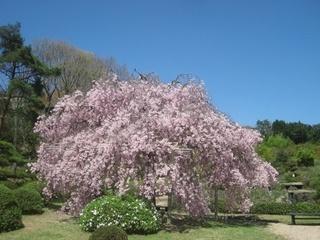 しだれ桜 樹齢40年八重しだれ桜 ※見頃4月中旬~4月下旬
