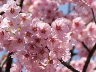 【春先取り】桜を愛でに出かけましょう♪