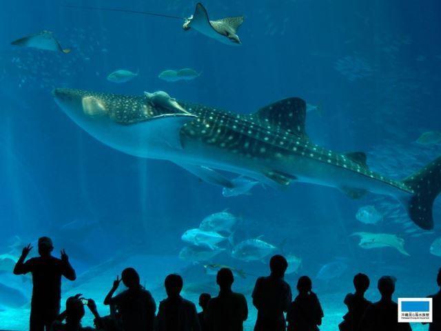 【美ら海水族館】当ホテルから車で約30分!大水槽を泳ぐ巨大なジンベエザメが人気♪