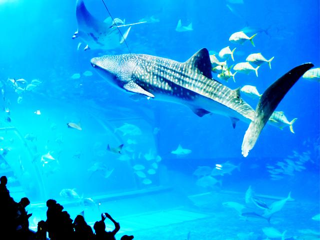 [美海水族馆]从本酒店坐车约30分钟!在大水槽游泳的巨大的jimbeezame受欢迎♪